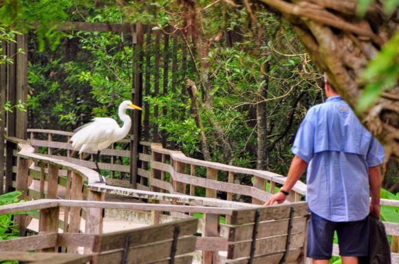 Great White Egret. Pretty fearless