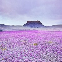 Beautiful blooming desert ...!