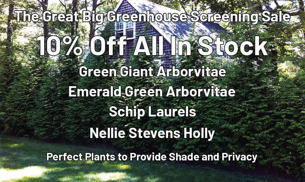 The Great Big Greenhouse Screening Sale. 10% Off All In Stock Green Giant Arborvitae, Emerald Green Arborvitae, Schip Laurels, Nellie Stevens Holly. Perfect Plants to Provide Shade and Privacy.
