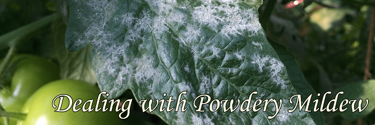 Dealing with Powdery Mildew