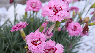 Perennial dianthus has arrived.