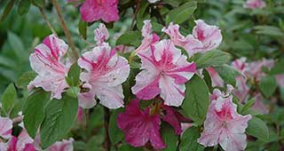Autumn Twist Encore Azalea