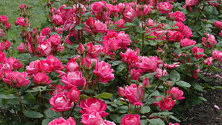 Assorted Knockout roses