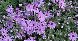 Fort Hill Creeping Phlox