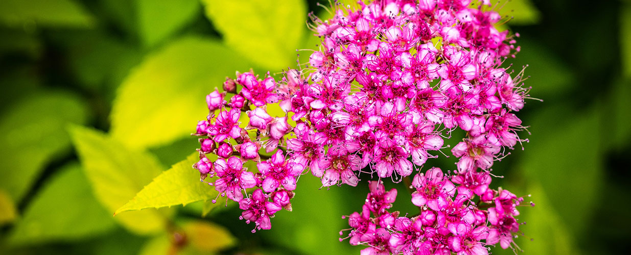 Beautiful pink blooms on a Goldmound spirea