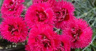 Double Star Starlette Dianthus