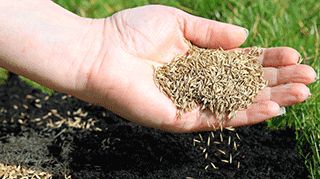 Spreading grass seed by hand