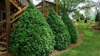Green Mountain Boxwoods. Photo courtesy of Saunders Brothers Nursery