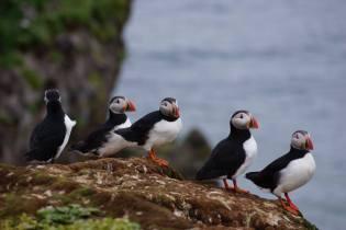 Puffins - Grimsey Island
