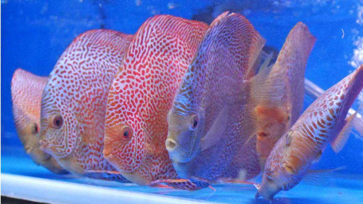 Hong-Kong-discus-fish