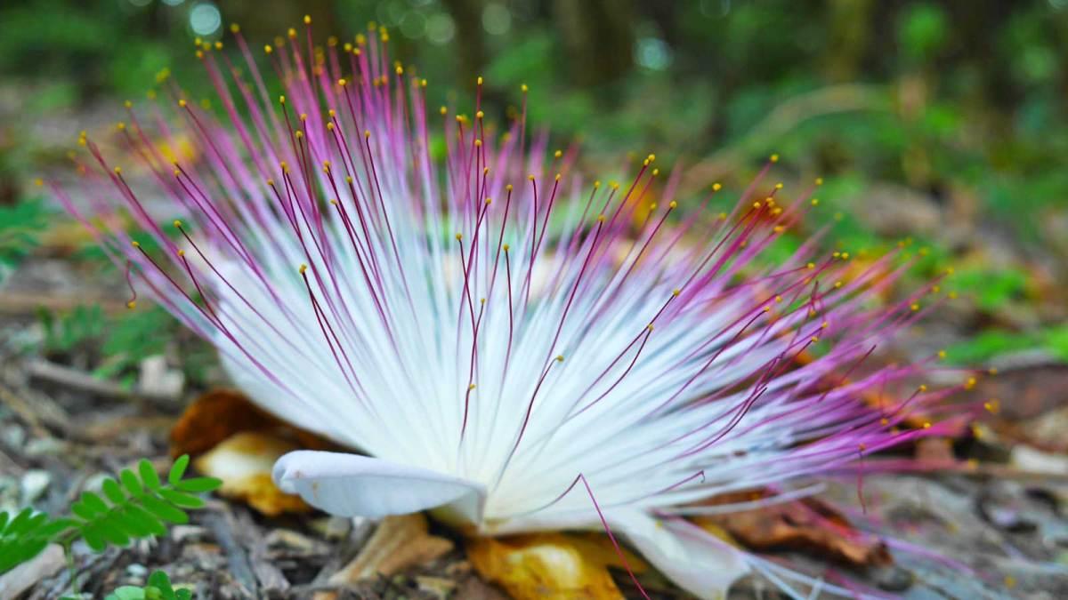 niue-flower