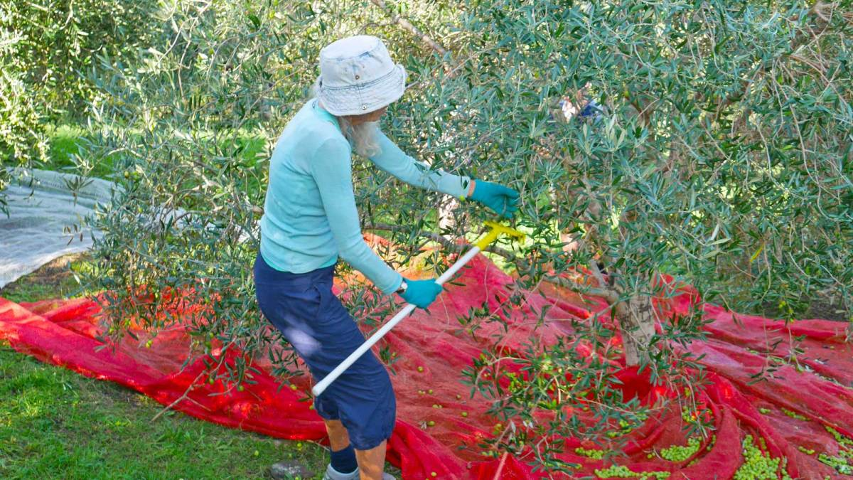 Olive picking at Earthsong Lodge