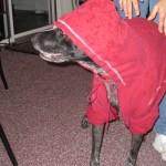 dog in sweatshirt