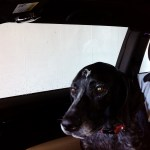image german shorthaired pointer