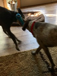 GSP dogs playing