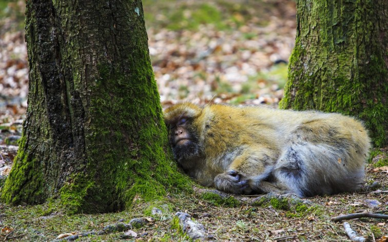 Sleeping Monkey | The Gifts of Failing | Greater Ape