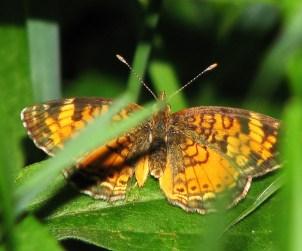 Butterfly- Clubbed antennae Photo credit: Flickr user, mdprovost ~ Prosper in 2011 https://www.flickr.com/photos/anderani/2561994401/in/photolist-4UoTFg-4Ut8cj-78JXfz-8BQcEj-6XEJgT-6VsTTt-8Di5hR-8DgWXy-81cZTB-8CdTf7-8DdQmz-6XJKko-6Vx83w-6VwPyS-6FHPoJ-8BLF1H-7mMFov-6XEHC6-6Gznm2-7mkp2n-6Aiuu6-6PcZDk-8Dm7JU-78NNWJ-78JWMR-78JWwv-78JWaZ-78NMA3-78NMno-78JVp8-78NLT9-82Pr7r