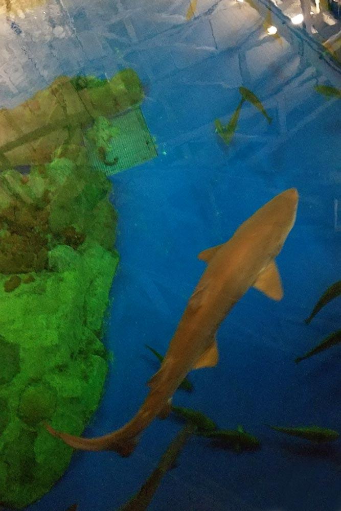 SeaWorld Shark in tank