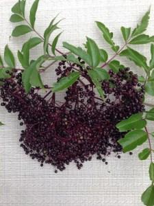 Elderberry Plant Information | A Unique Edible Plant to Grow Berries