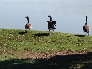 MonoCulture or Polyculture - Geese