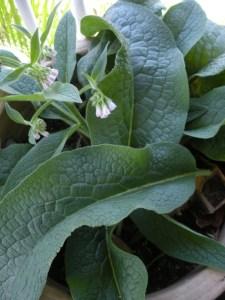 Comfrey Plant Information   A Permaculture Wonder-Plant