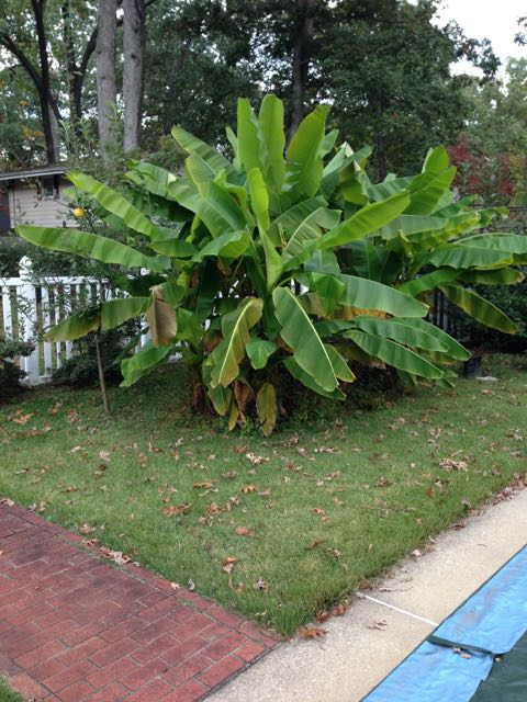 Hardy Banana Plant Information – Survives to Zone 6A