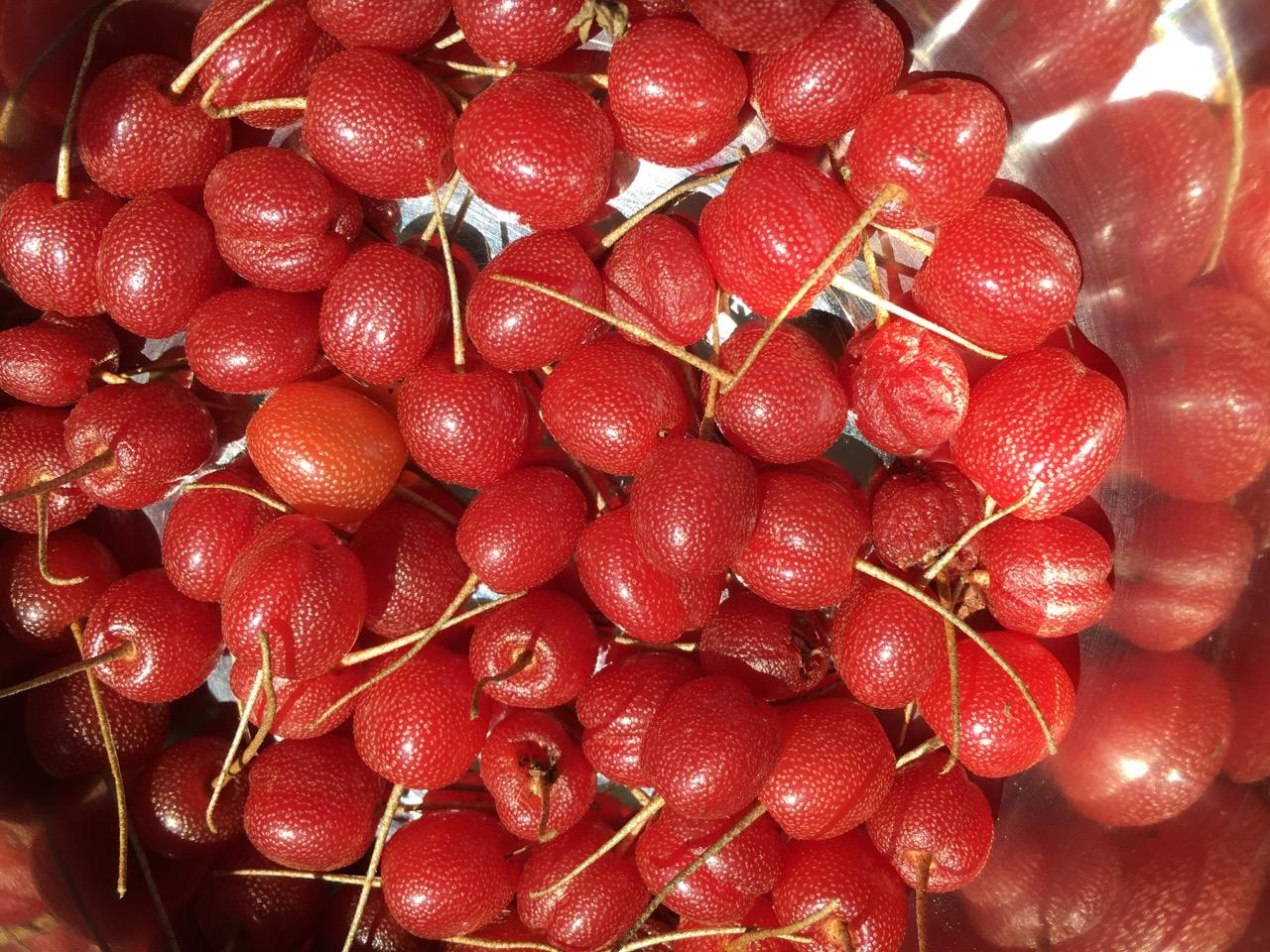 Unusual Edible Fruit - Sweet Scarlet Goumi