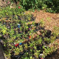 Transplanting Propagated Rooted Cuttings