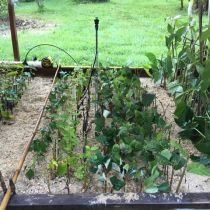 Propagating Autumn Olive - Mist Bed