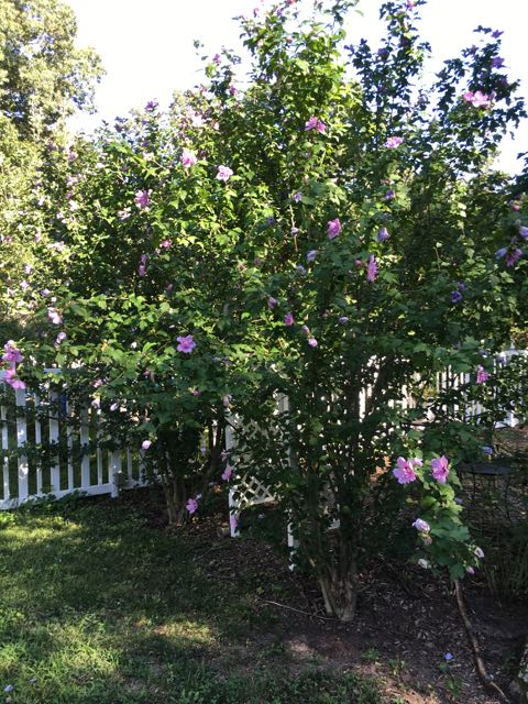 Propagating Rose of Sharon