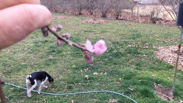 Fruit Trees Flowering Early Nectarine