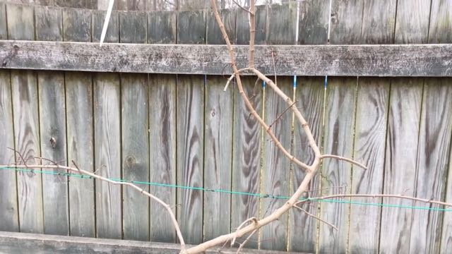 Pruning Muscadine Grape Vines - after