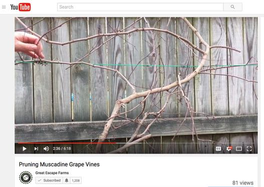 Pruning Muscadine Grape Vines - video