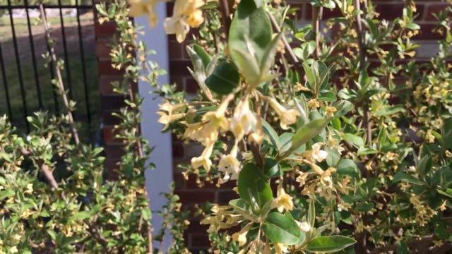 Unusual Edible Plants to Grow in Full Bloom - Goumi