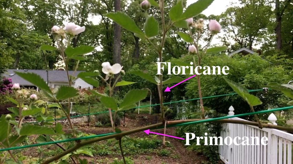 Blackberry Primocane Blackberry Floricane