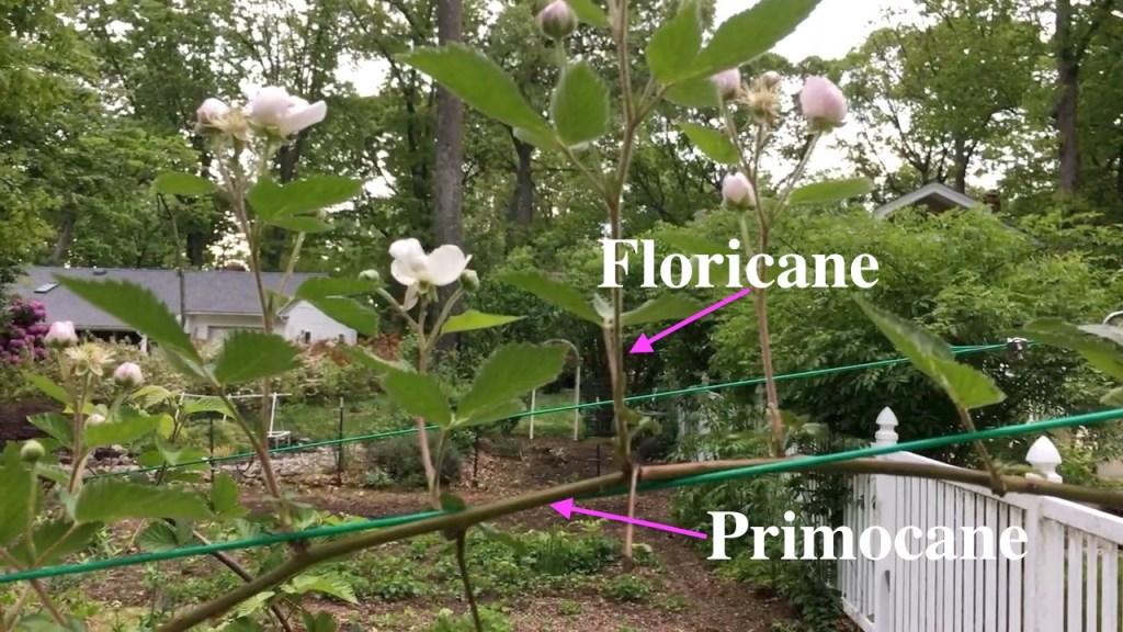 Blackberry Primocane Blackberry Floricane