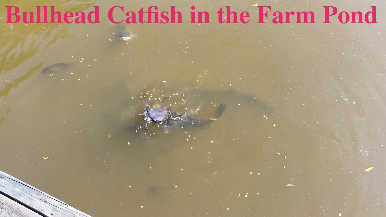 Bullhead Catfish in the Farm Pond
