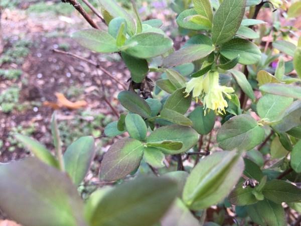 Harvesting Honeyberry Haskap Lonicera caerulea - Bloom