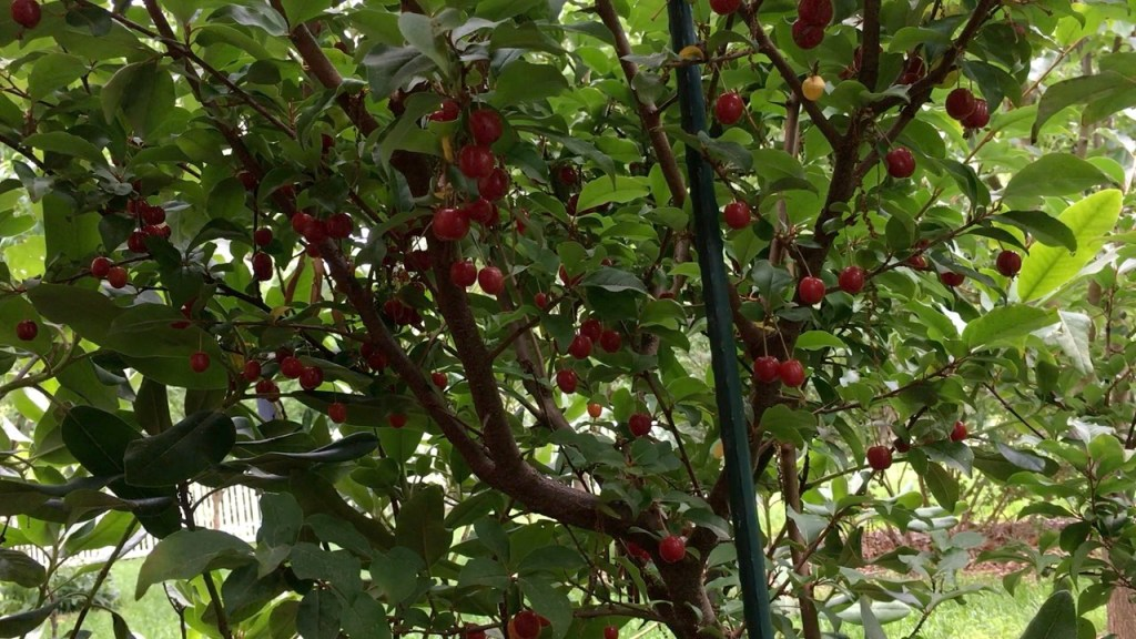 Sweet Scarlet Goumi Berry Harvesting Fruit