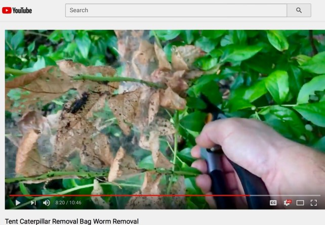 Tent Caterpillar Removal Bag Worm Removal YouTube