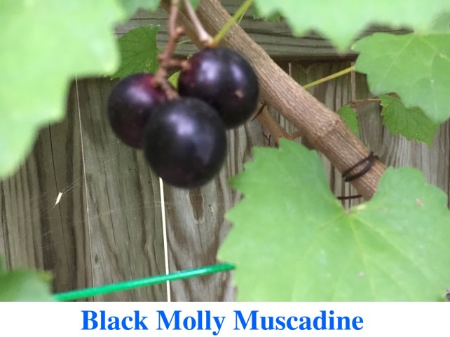Black Molly Muscadines for Sale