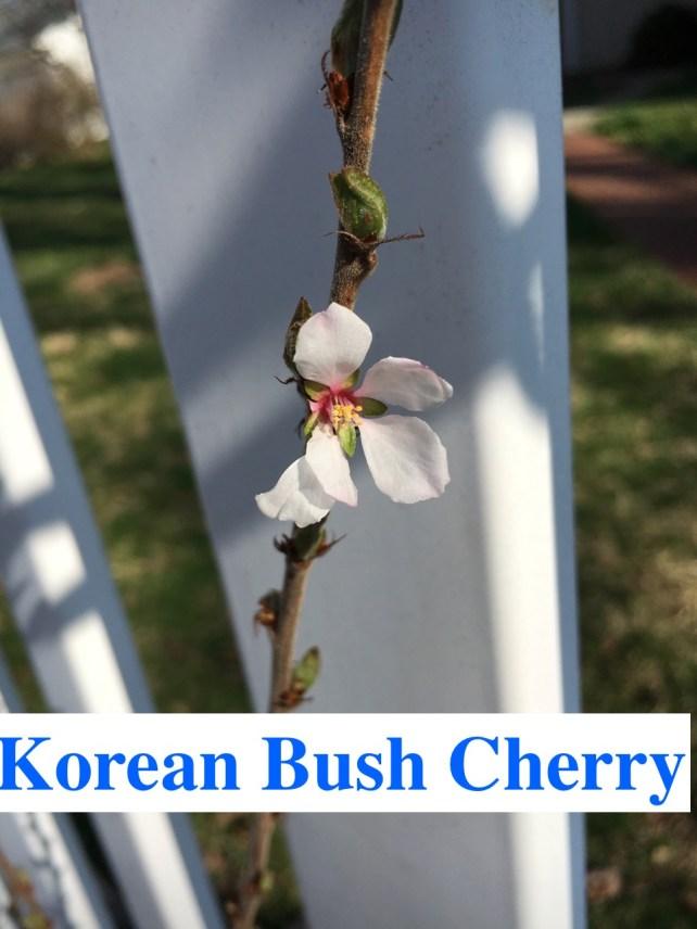Korean Bush Cherry