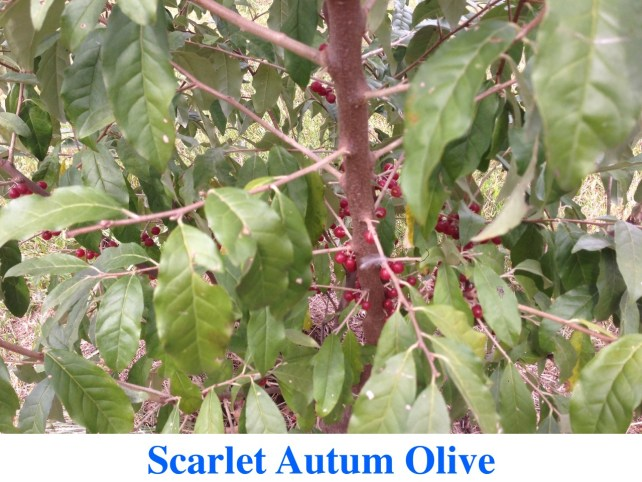 Scarlet Autumn Olive Plants For Sale at Great Escape Nursery