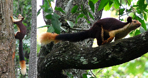 Giant Malabar Squirrel at Nagarhole forest