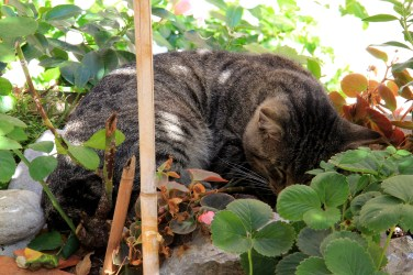 Positano Grey tabby cat napping