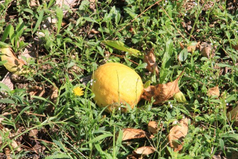 Sorrento fallen lemon