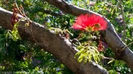 Sorrento red flower