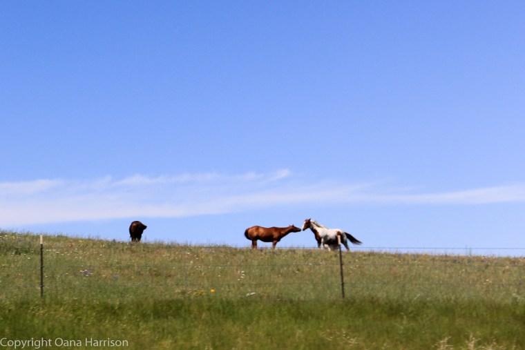 Montana-kissing-horses
