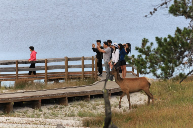 Elk-and-tourists-Yellowstone
