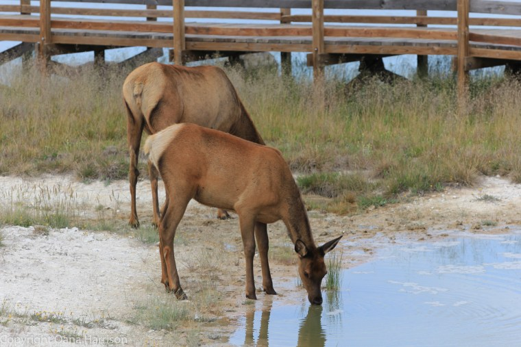 Elk-mom-and-baby-Yellowstone